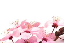 Cherry Blossom , Pink Sakura F...