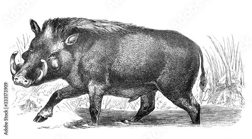 Warthog African - Old Antique illustration from Brockhaus Konversations-Lexikon Canvas Print