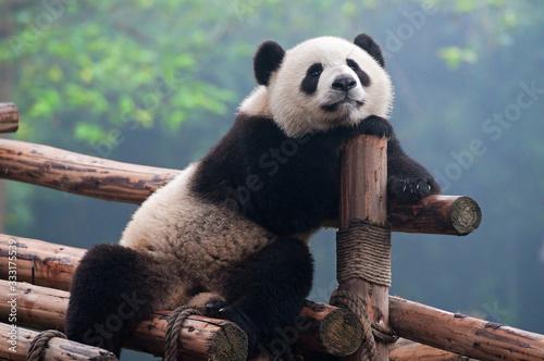 Fotografia Cute giant panda bear