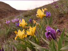 Early Spring. Wild Irises Bloom On The Black Sea. These Legendary Plants Are Heroes Of Legends And Fairy Tales. They Are Depicted On The Coat Of Arms Of Florence.