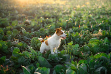 Dog On The Field In Cabbage. S...