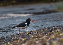 Oystercatcher Bird On The Beach