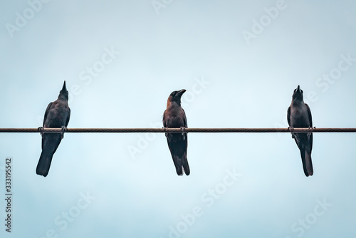 three crows against blue sky Canvas Print
