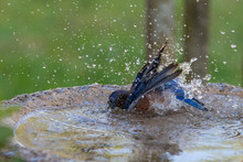Eastern Bluebird Bathing In A ...