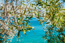 Olive Tree Branches With Blue ...