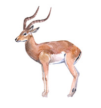 Watercolor Antelope  Animal On...