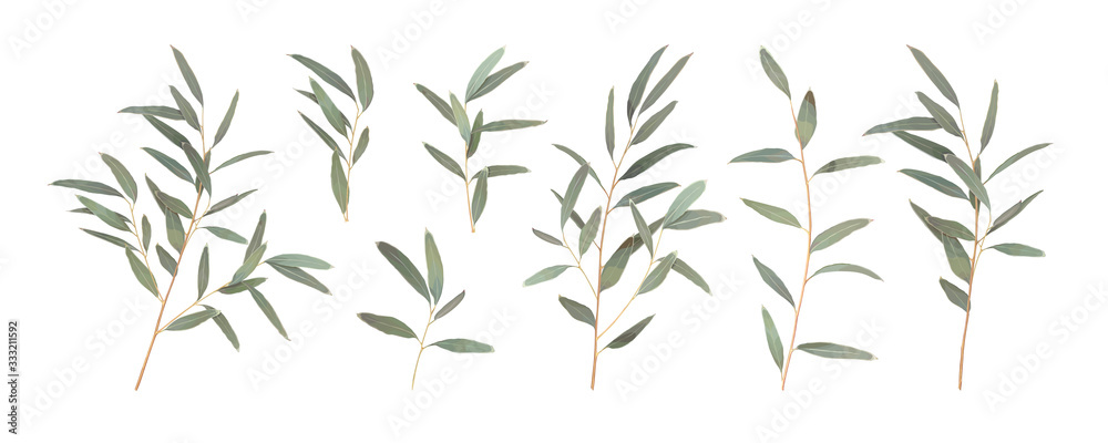 Fototapeta Set different branches of Eucalyptus radiata isolated on a white background. Vector illustration of greenery, foliage and natural leaves. Design element for floral composition and bunch