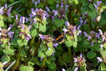 Buff Tailed Bumblebee Collecti...