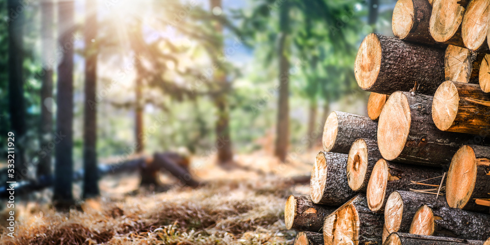 Fototapeta Forest pine and spruce trees. Log trunks pile,  the logging timber wood industry. Wide banner or panorama wooden trunks.