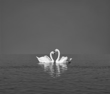 Two White Swans On Blue Lake