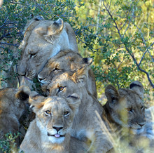 Cuddling Lion Family (Okavango...