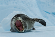 Leopard Seal On Ice Floe