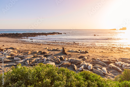 Two Elephant seals fighting and howling at each other at Elephant Seal Vista Poi Fototapeta