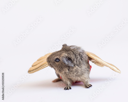 Tiny guinea pig with wings of gold in the studio isolated on white