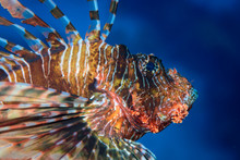 Red Scorpionfish (Scorpaena Sc...