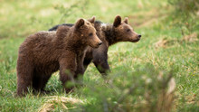 Two Cute Brown Bear, Ursus Arc...