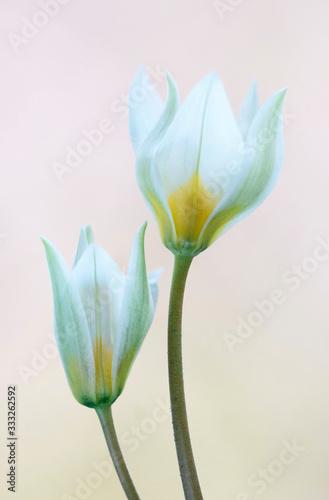 Obraz Tulipany turkestańskie - fototapety do salonu