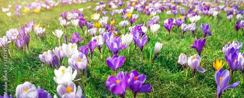 Fototapeta Panoramic view to spring flowers in the park obraz