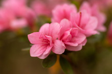 Azalea Rhododendron Bush In Ga...