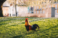 Colorful Rooster Standing On G...