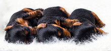 Newborn Puppies Sleep In A Row...