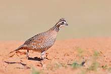 Northern Bobwhite (Colinus Virginianus) Male, South Texas, USA