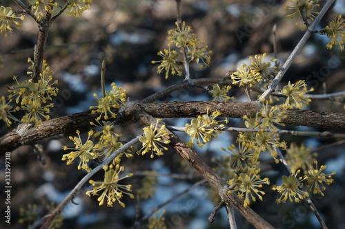Valokuvatapetti The blooming tree with yellow flowers - Cornus mas (Cornelian cherry, European c