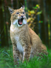 Portrait Of Eurasian Lynx (Lyn...