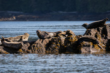 Group Of Harbor Seals Sitting In The Sun On The Rocky Coastline In Ketchikan, Alaska