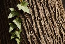 Climbing Plant On A Tree, Clos...