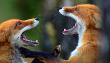Portrait Of Red Fox (Vulpes Vu...