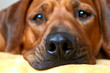 Dog head close up Dog nose Rhodesian ridgeback Soft selective focus blurred background