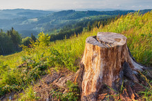 Stump Of Truncated Spruce On A...