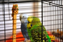 Two Parakeets In A Cage