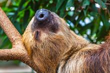 Cute Brown-throated Three-toed...