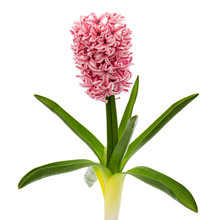 Pink Flowers Of Hyacinth With ...