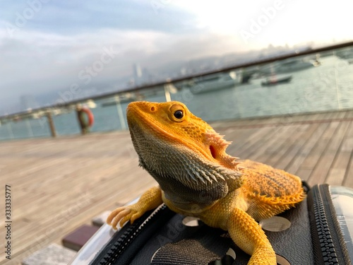 The yellow lizard iguana in the city with sea view harbour Hong Kong Fototapet