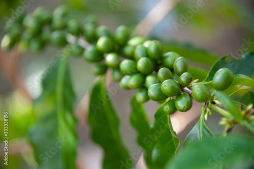 Unripe Green Coffee Cherries