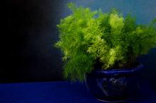 Fresh Green Leaves Of Asparagus Fern Bus Pot On Blue Floor