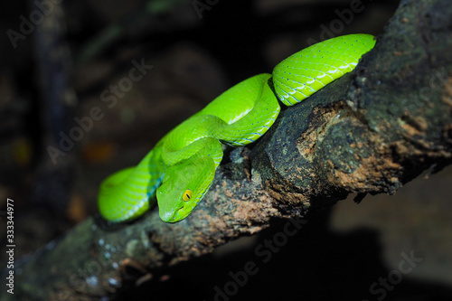 Photo Green viper snake.