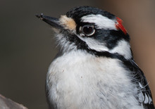 Male Downy Woodpecker Close Up