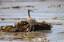 Bird On The Beach With Seaweed