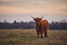 Young Scottish Highland Beef C...