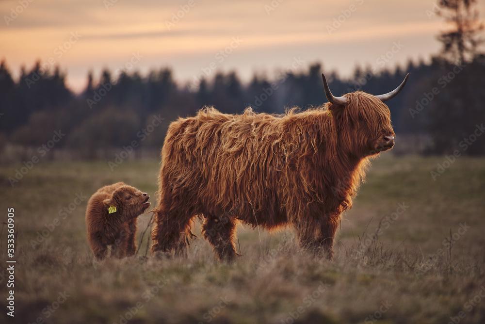 Fototapeta Highland Cow And Calf