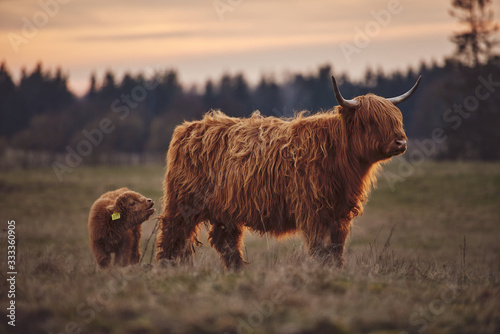 Fototapeta Highland Cow And Calf