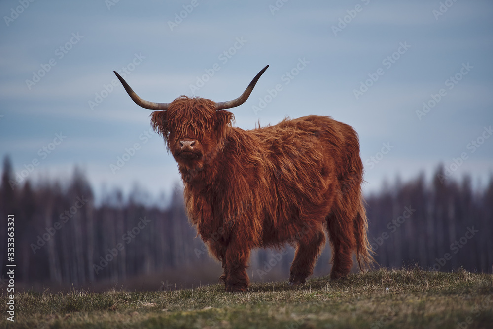 Fototapeta Young Scottish Highland Beef Cattle