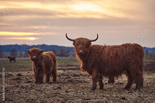 Fototapeta Highland Cow And Calf obraz