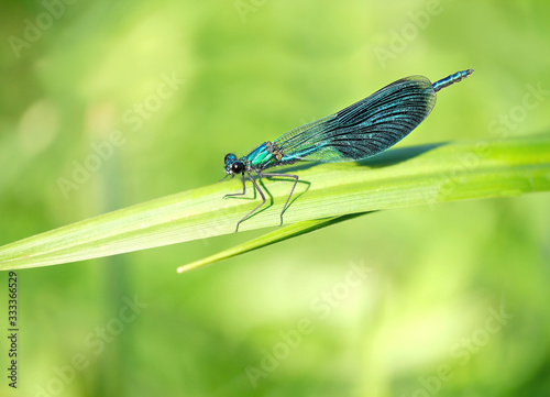 blue dragonfly on green leaf Wallpaper Mural