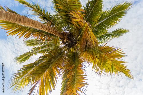 Palmera con cocos en el caribe