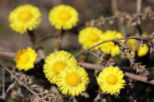 Valokuvatapetti Spring forest, coltsfoot flowers in sunny day